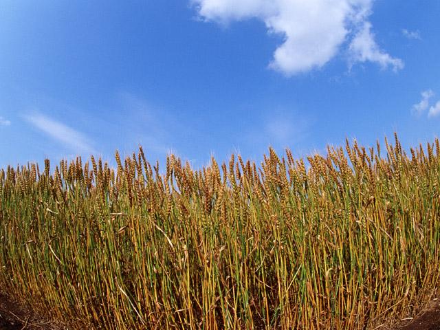 味噌 麦畑
